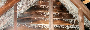 loft-skimmelsvamp
